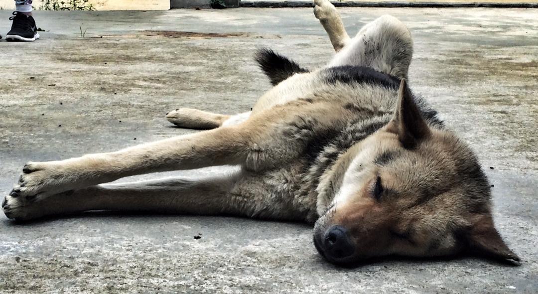 sleeping dog in hmong village