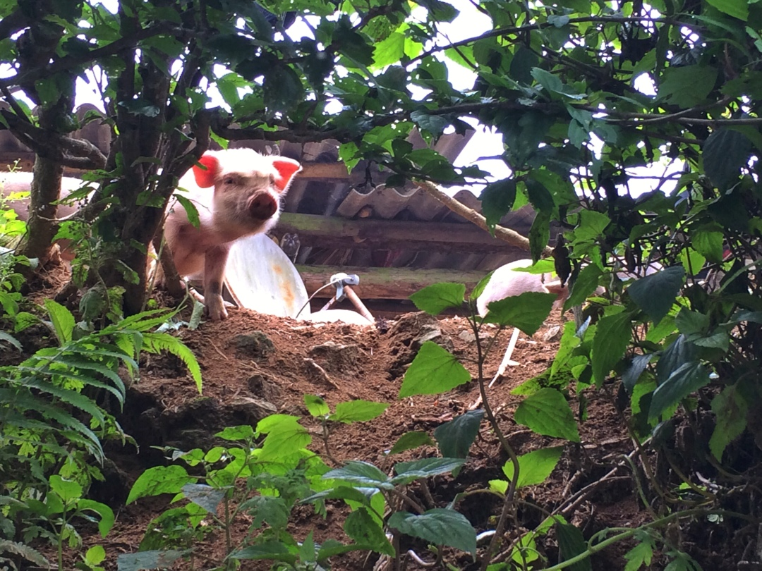 pig spotted in sapa
