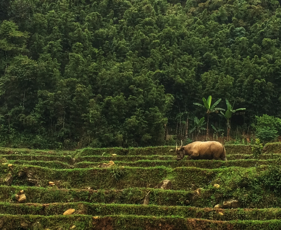 water buffalo in rice field