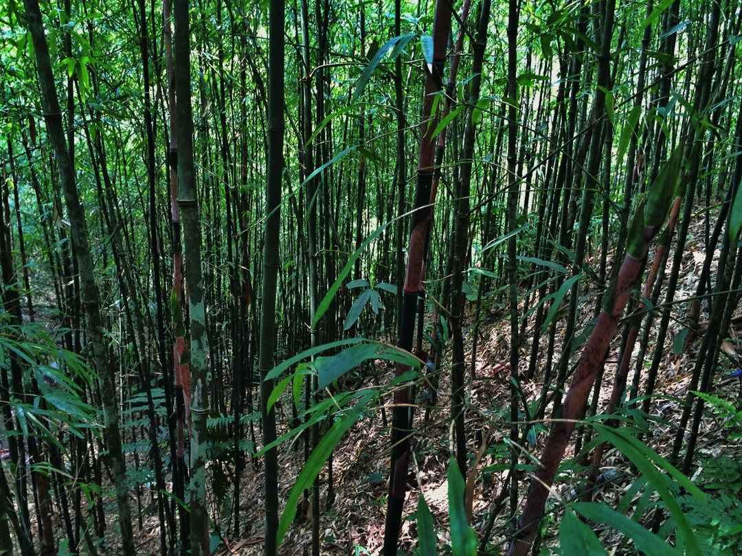 bamboo forest in sapa