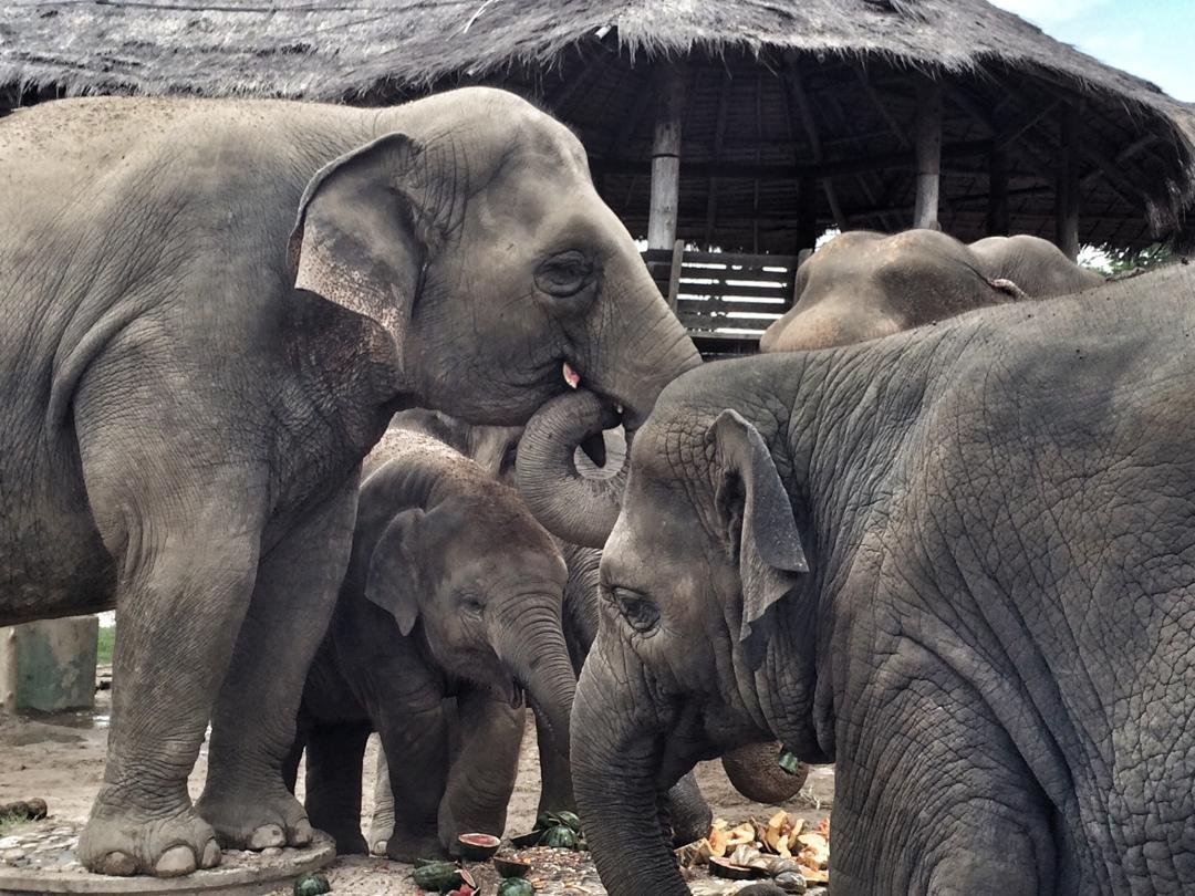 Elephant family dinner chiang mai