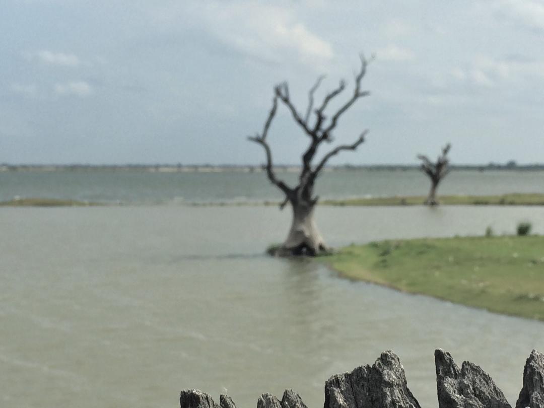 Dead tree in river
