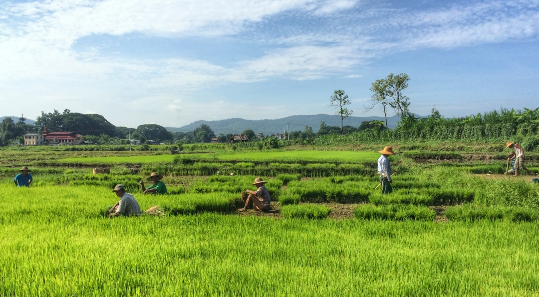 workers in rice fields