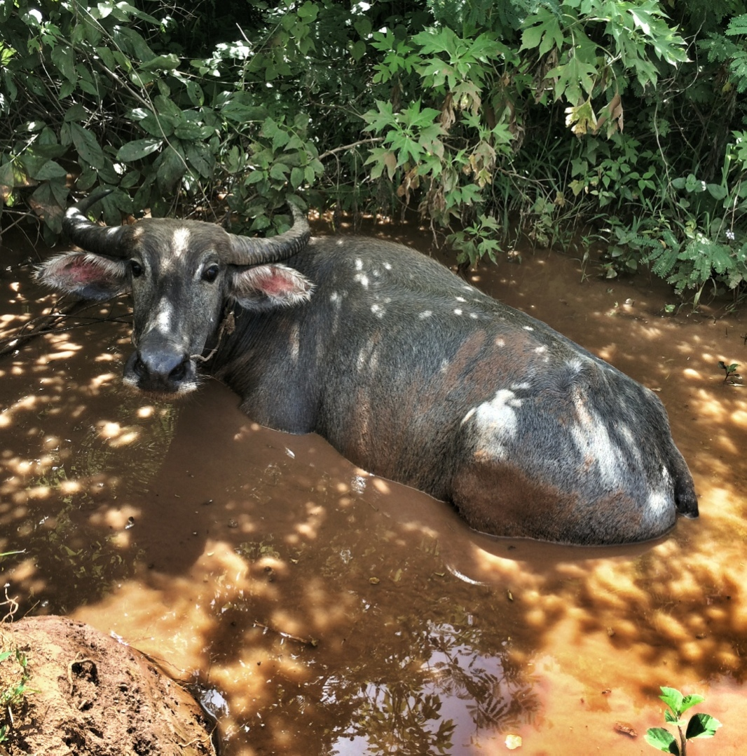 water buffalo cooling down in mud