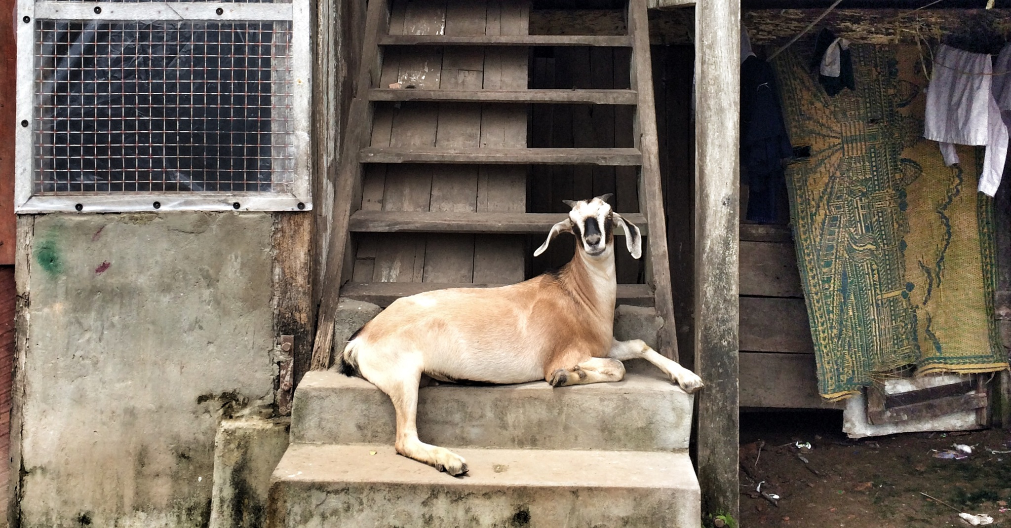 goat acts as doorman