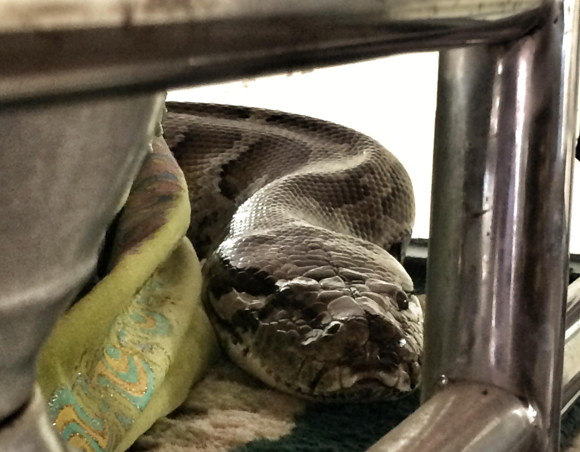 snake bodyguard of goddess